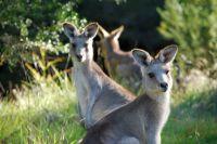 tom-groggin-kangaroos-5365