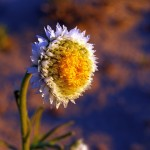 Everlasting daisy in the dry bed of Menindee Lake. These low growing everlastings were uniformly facing the setting sun.