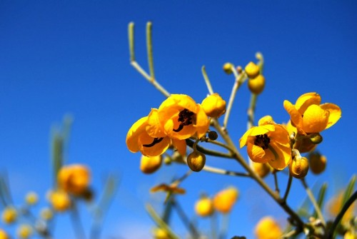 Cassia - Outback wildflower