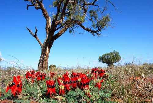 Sturts desert pea