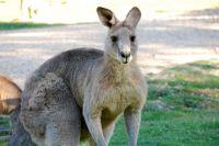tom-groggin-kangaroos-5340