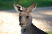 tom-groggin-kangaroos-5346